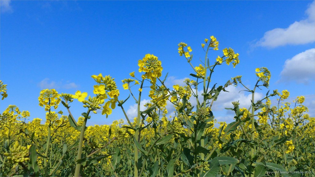 Yellow oilseed rape flowers in close-up with blue sky