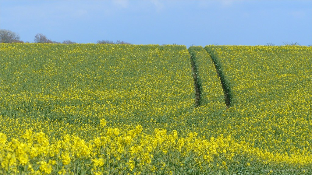 Field of yellow rapeseed flowers with tram lines and blue sky