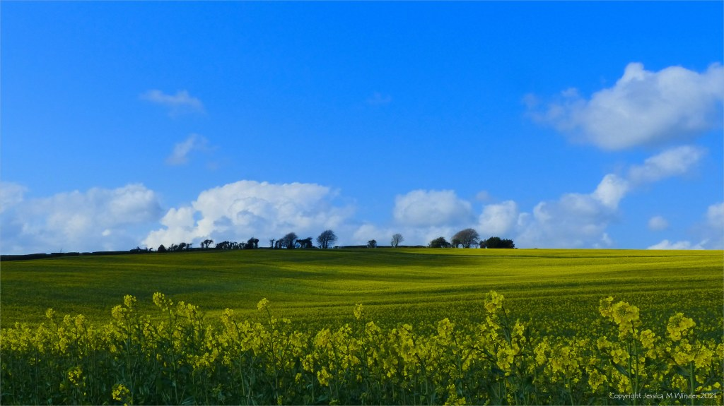 Field of flowering oilseed rape with trees on horizon, blue sky and clouds
