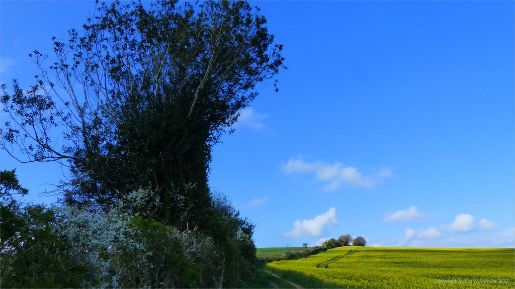 Holly tree in hedgerow by field of yellow rape with blue sky