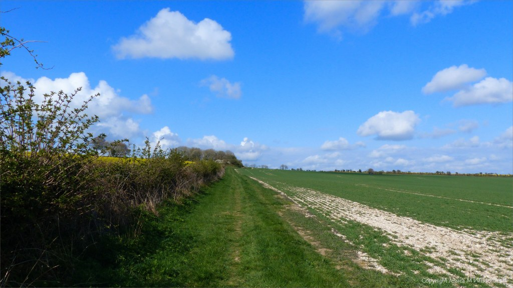 Grassy field margin by new wheat shoots with hedgerow, blue sky, and white fluffy clouds