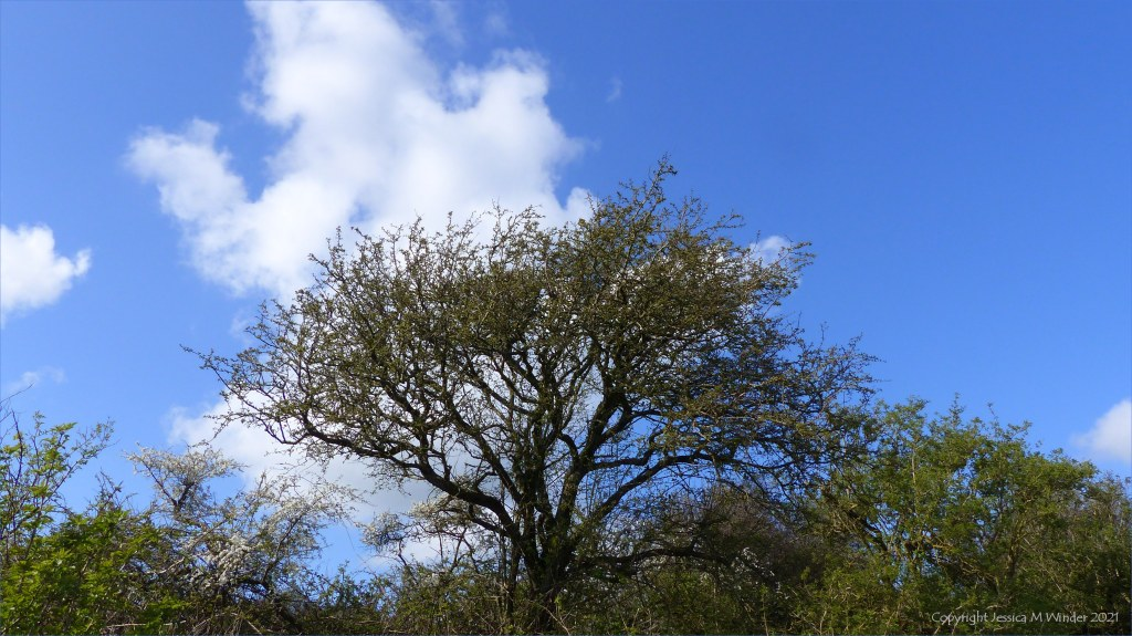 Old hawthorn tree in hedgerow with blue sky and white clouds
