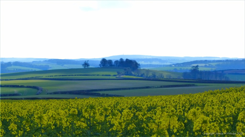 Panoramic view of fields, hedgerows, tree clumps, and yellow flowers of oilseed rape.