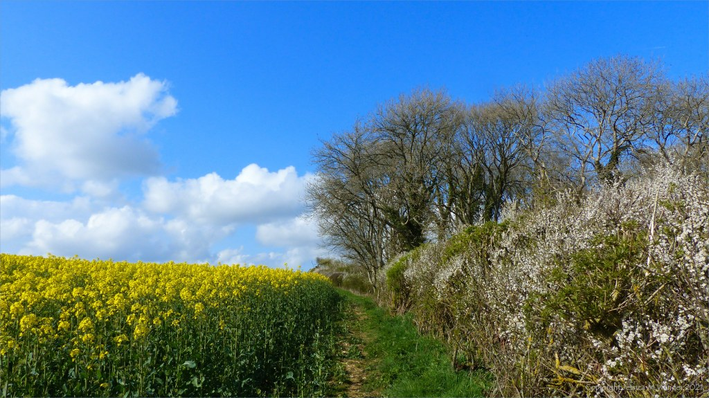 Sunny day, blue sky, white clouds, hedgerow, woods, and rape field in flower