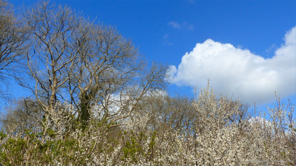 Bare branches of trees with white blackthorn blossoms in hedge, blue sky, and white clouds