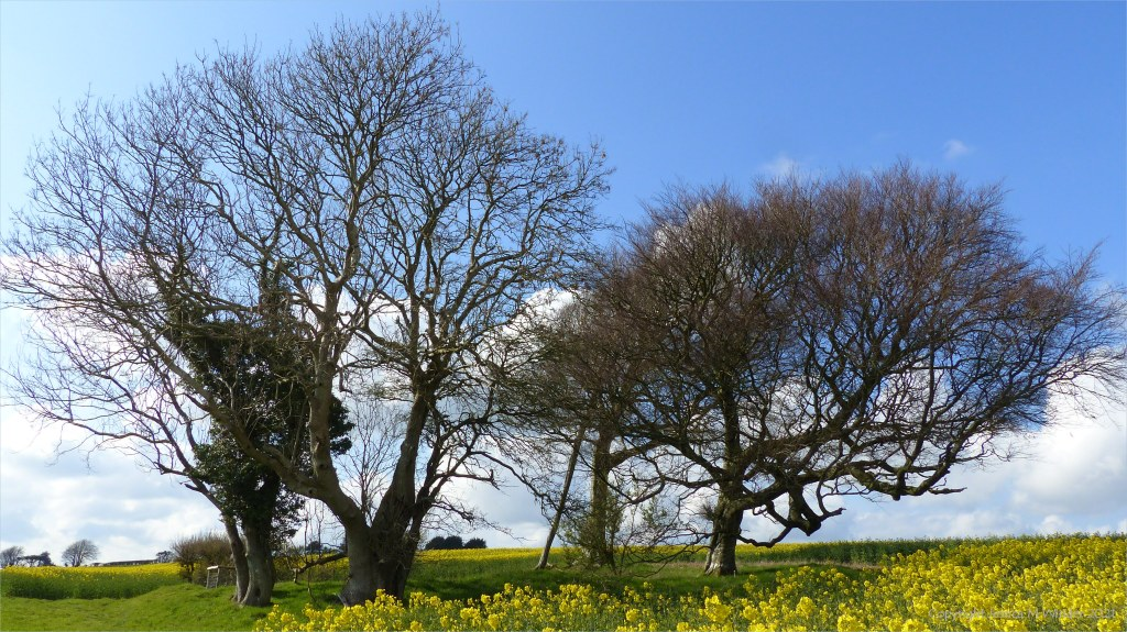 Group of bare trees in field of yellow flowers with blue sky and clouds