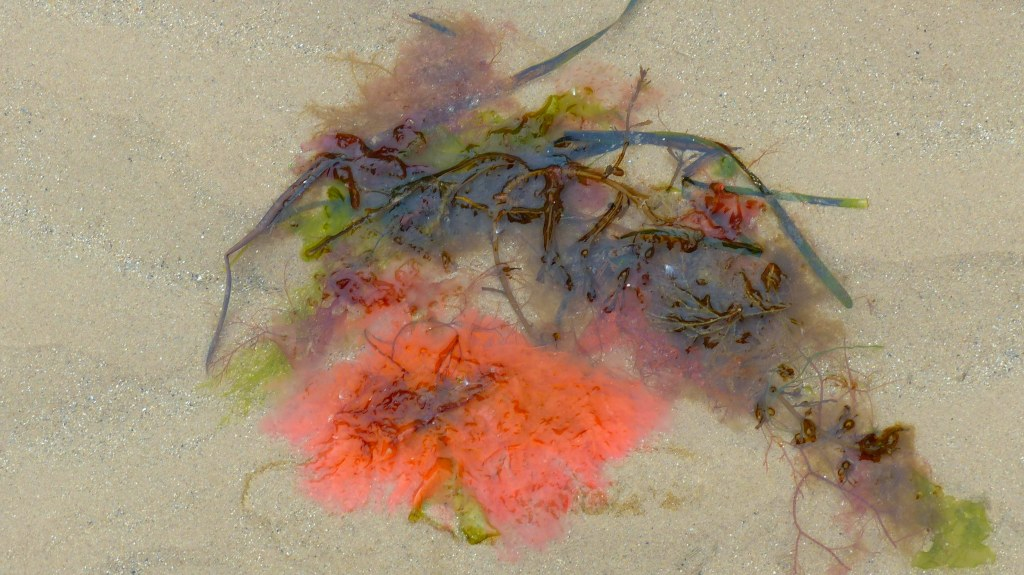 Seaweeds washed up on a sandy beach