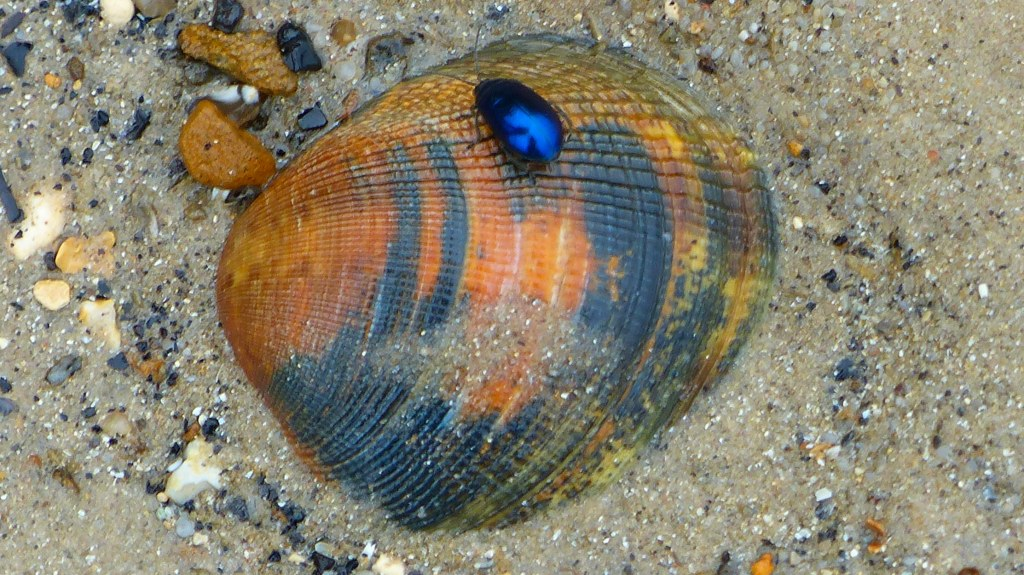 Stained and patterned cockle shell with shiny blue beetle on the beach