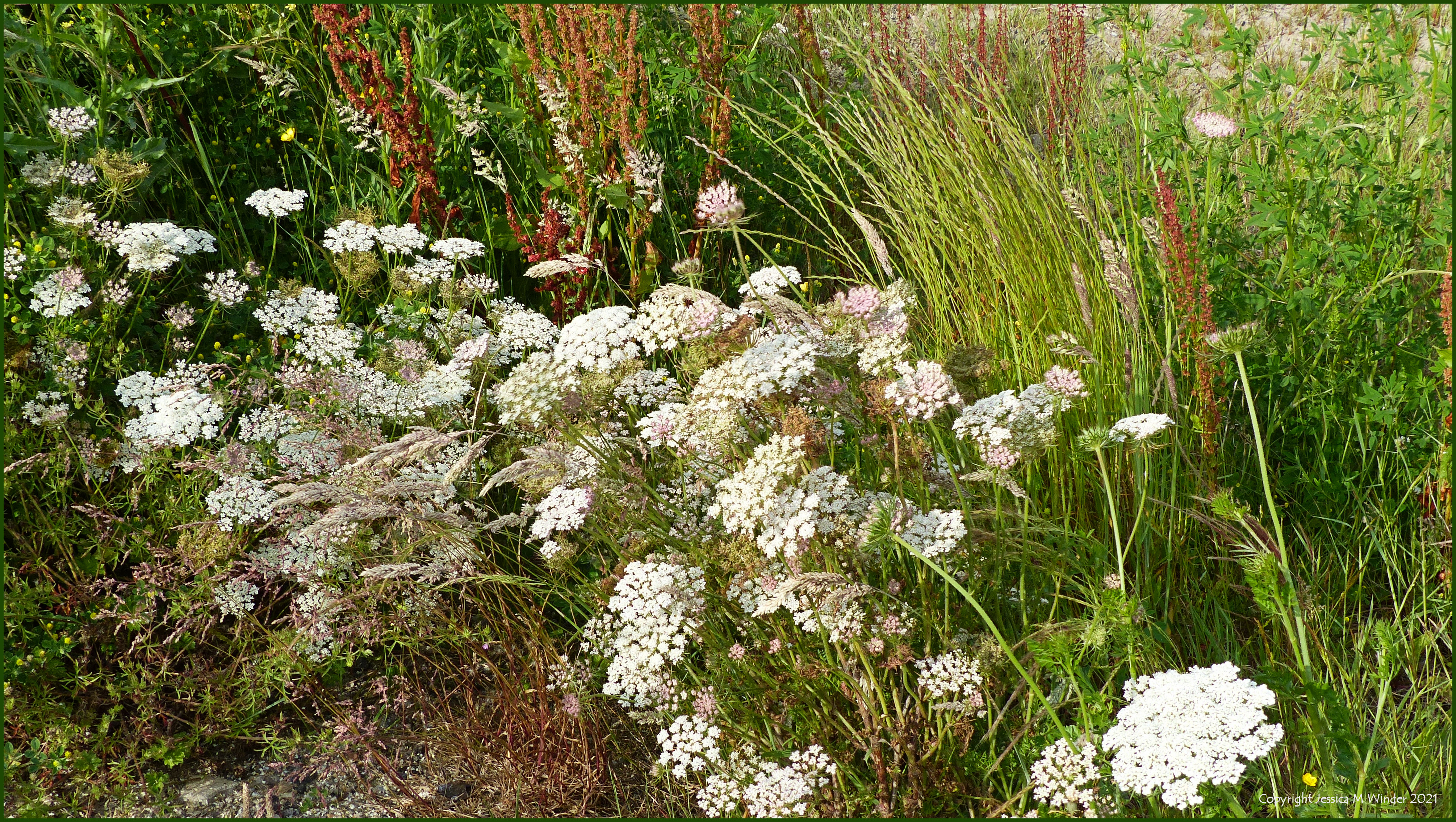 Wild flowering plants and grasses on wasteland