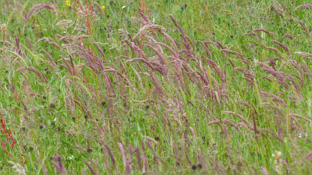 Pink grasses in a seeded hay meadow