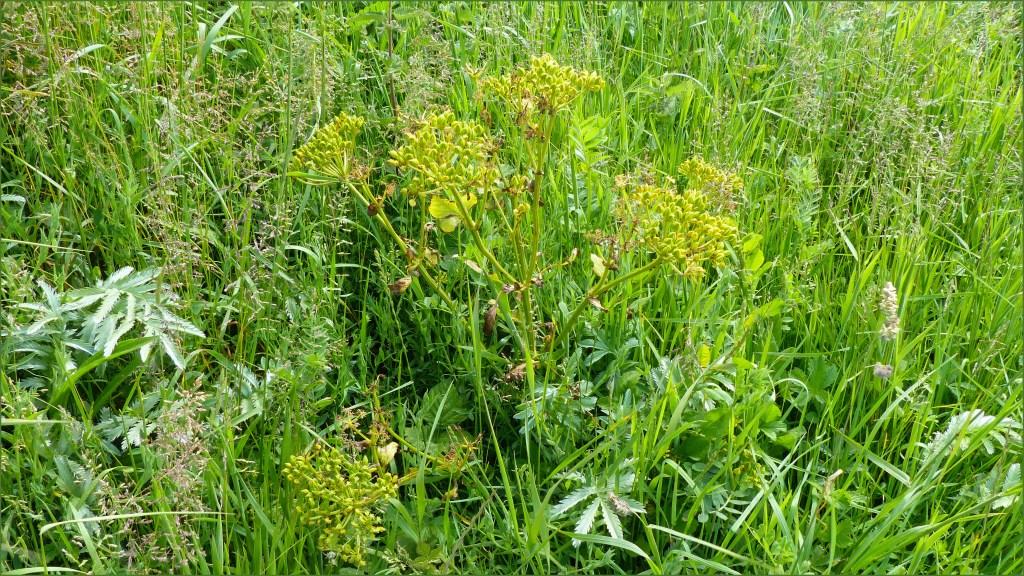 Green ridged seeds forming on Alexanders in June