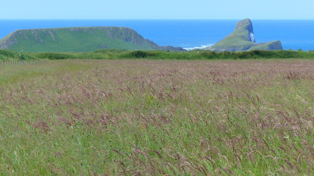 Grasses in a seeded hay meadow with Worms Head in background