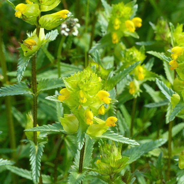 Yellow Rattle flowers and leaves with serrated edges