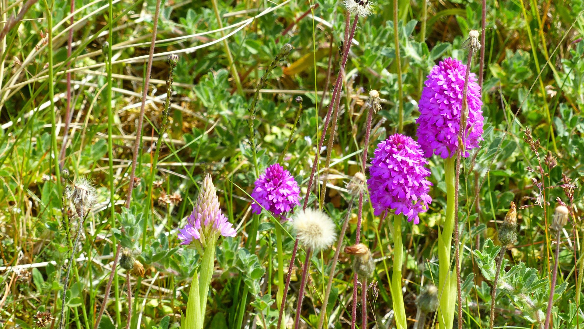 Pyramidal Orchids in dune grassland