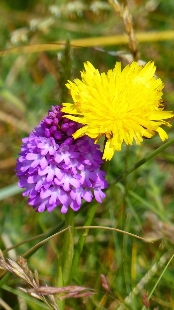 Pink Pyramidal Orchid in dune grassland with yellow dandelion