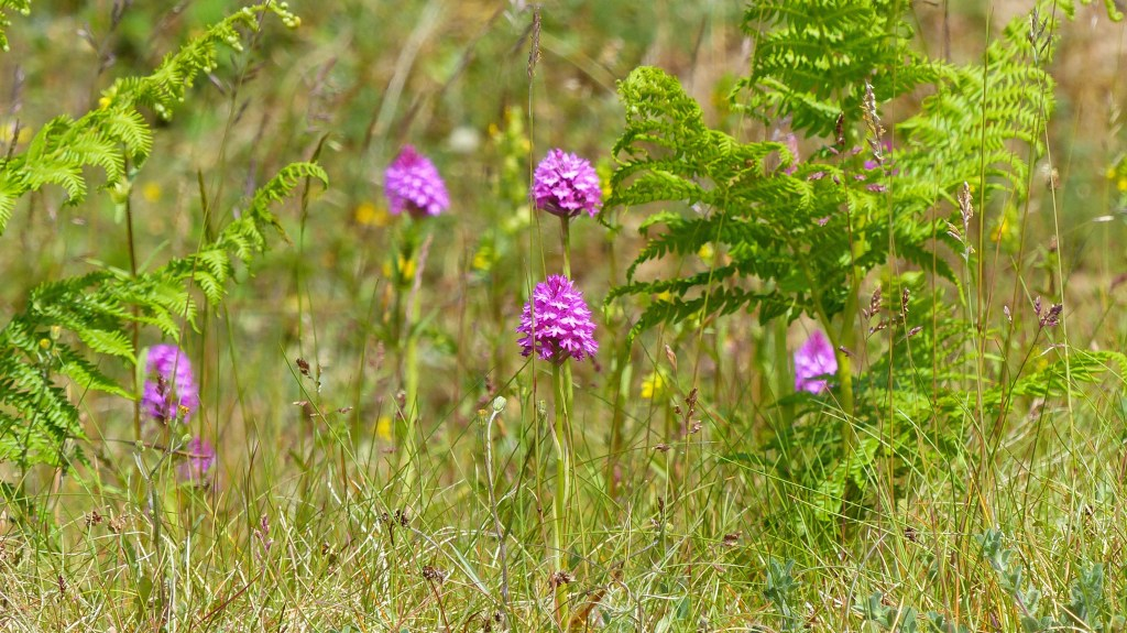 Pink Pyramidal Orchids in dune grassland with young bracken plants