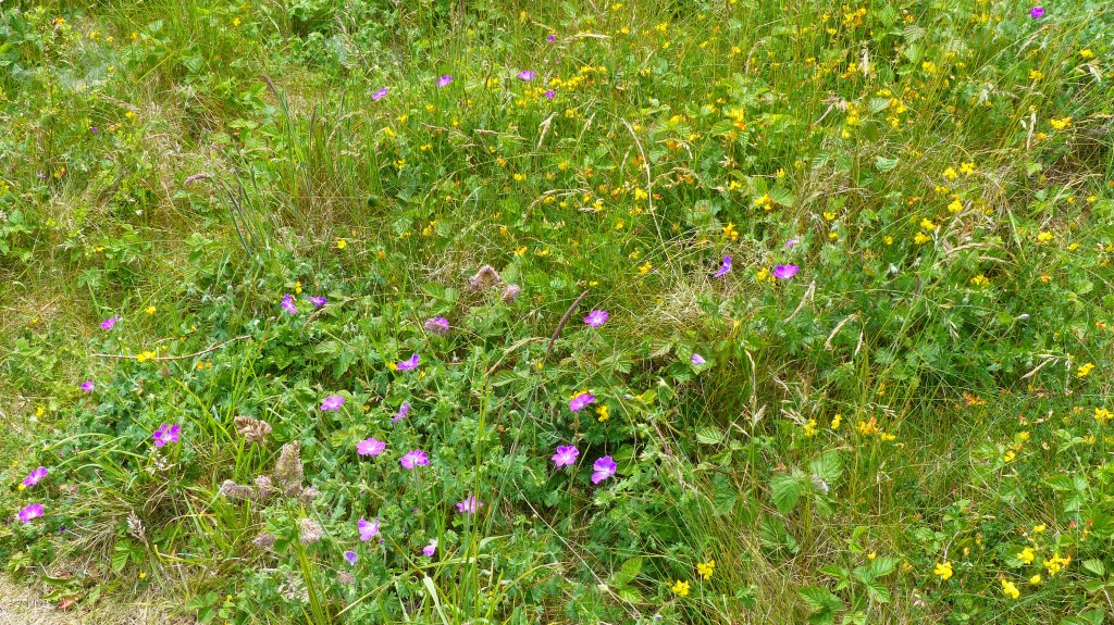Reddish-purple flowers of Bloody Cranesbill and yellow Birds-foot Trefoil growing on dunes