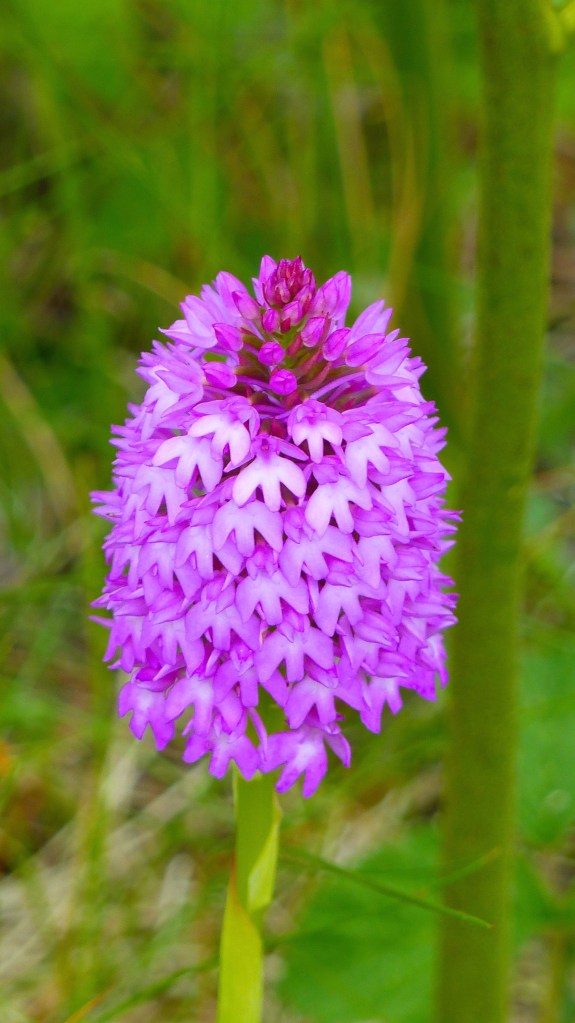 Pink Pyramidal Orchid in dune grassland