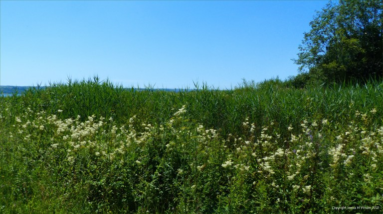 Reeds and Meadowsweet flowers in coastal wetland
