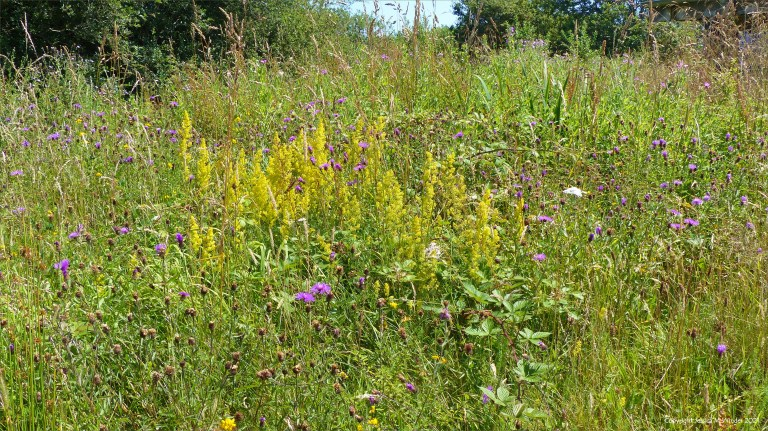 Pink Knapweed and yellow Lady's Bedstaw on a coastal wetland site