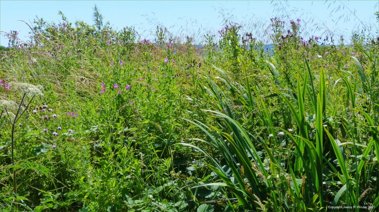 Bulrushes and Willowherb are main components of this coastal wetland location