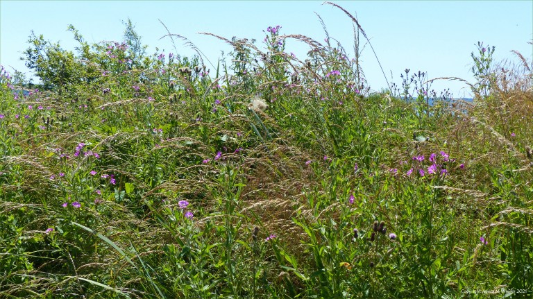Willowherb and tall grasses in coastal wetland