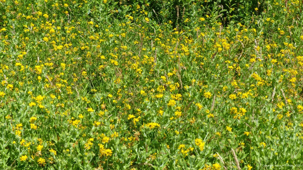 Yellow flowering plants and other wild vegetation on a wetland site in South Wales