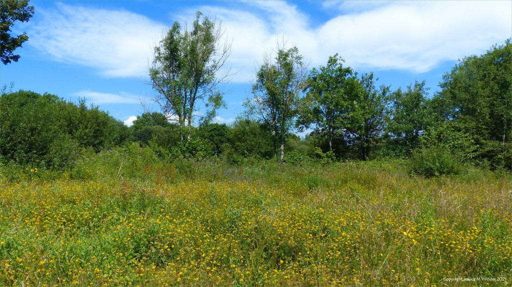 Yellow flowering plants and other vegetation on a wetland site in South Wales