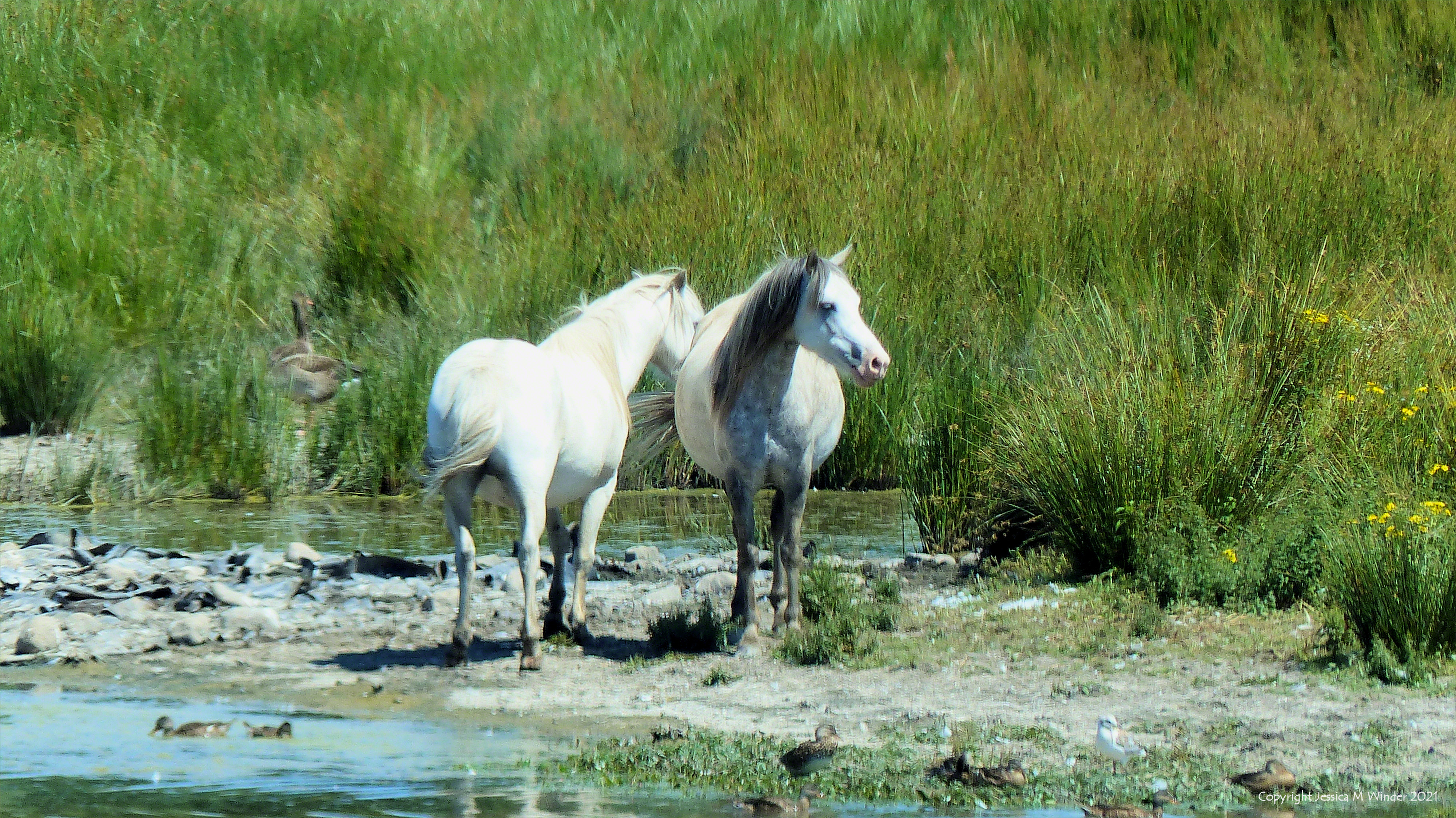 Two white ponies on the edge of a lake in the Millennium Wetlands at Llanelli, South Wales.