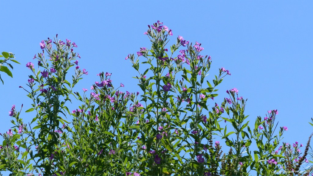 Pink flowers of Great Willowherb against blue sky