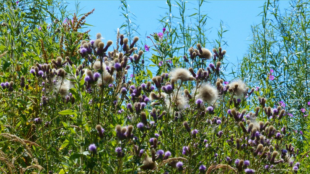 Pale purple thistle flowers and thistledown