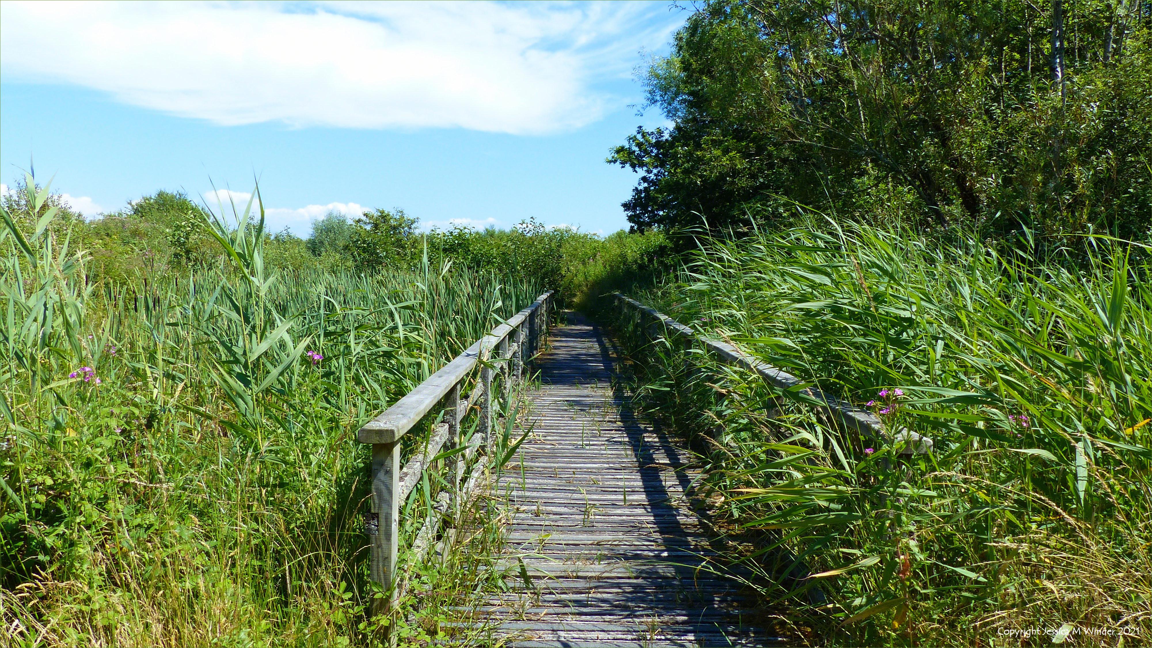 Tall waterside reeds and a wooden footbridge in wetlands