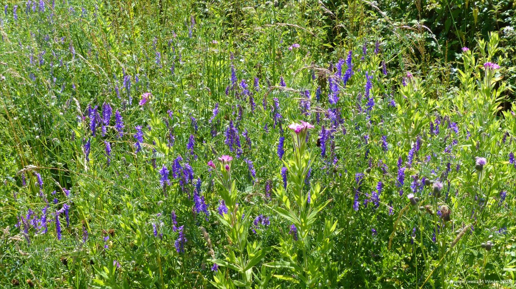 Purple flowering plants and other vegetation on a wetland site in South Wales