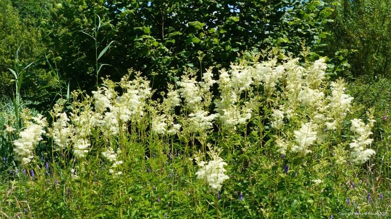 Creamy flowers of Meadowsweet in coastal wetland