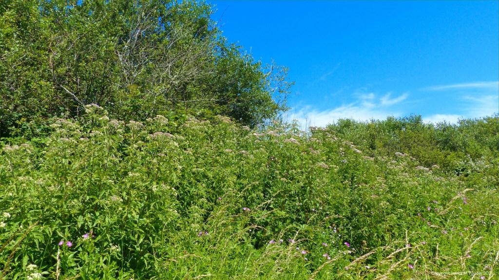 Hemp Agrimony in bud on a wetland site