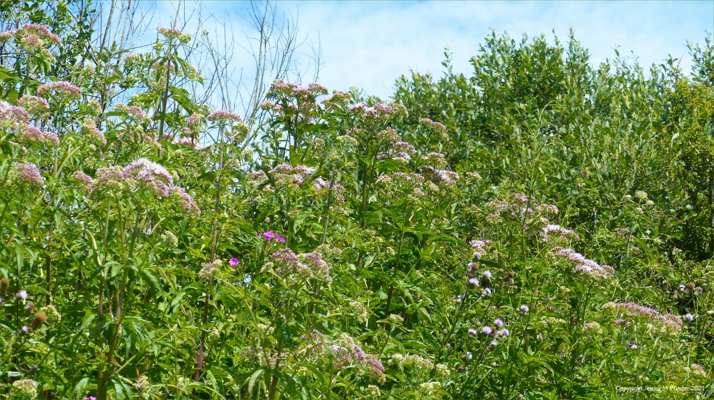 Hemp Agrimony in bud on a wetland site with other vegetation