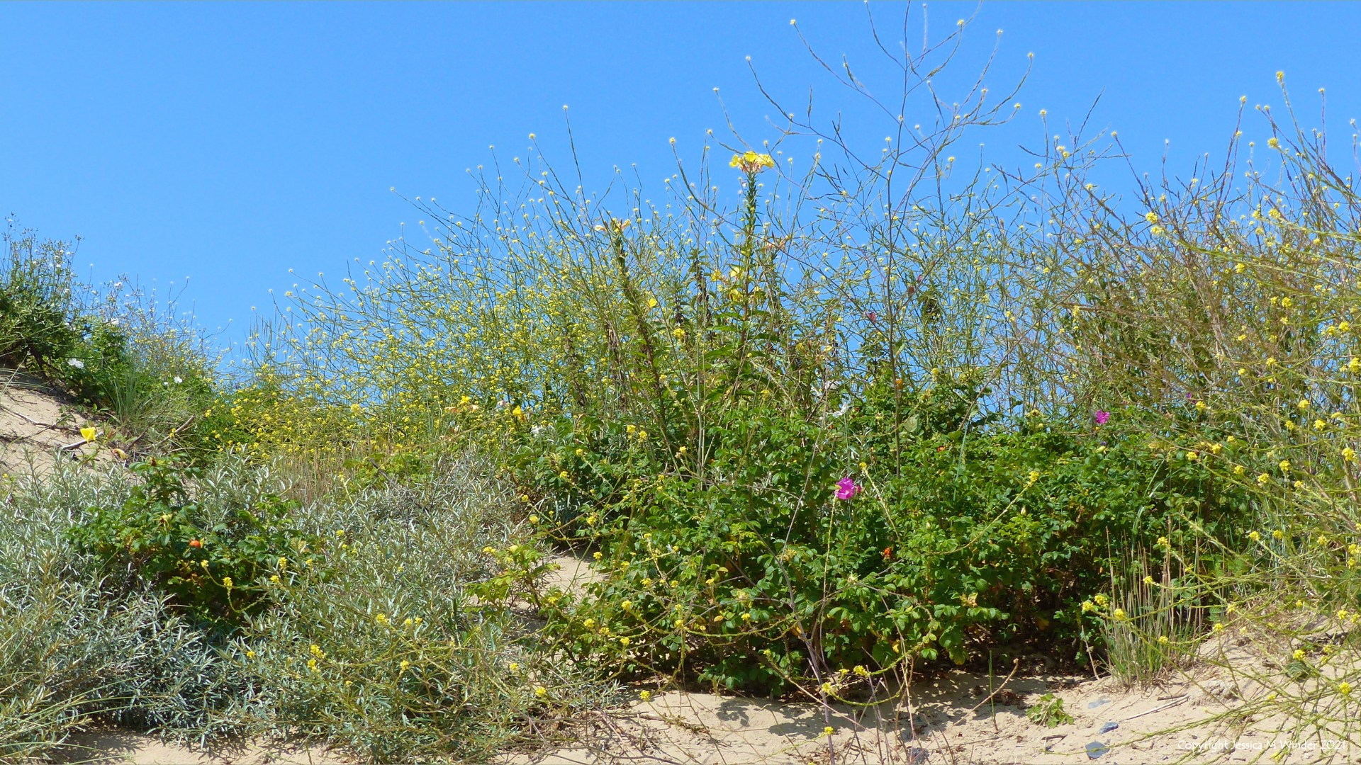 Plants growing on the loose sand of dunes