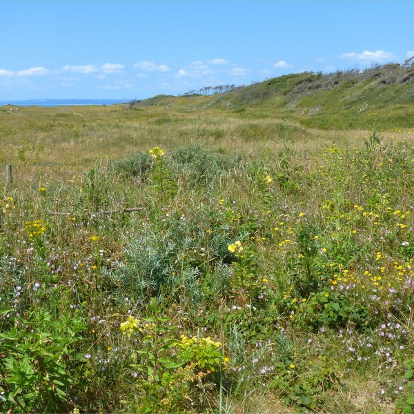 Plant life on the sand dunes at Pembrey Country Park in summer