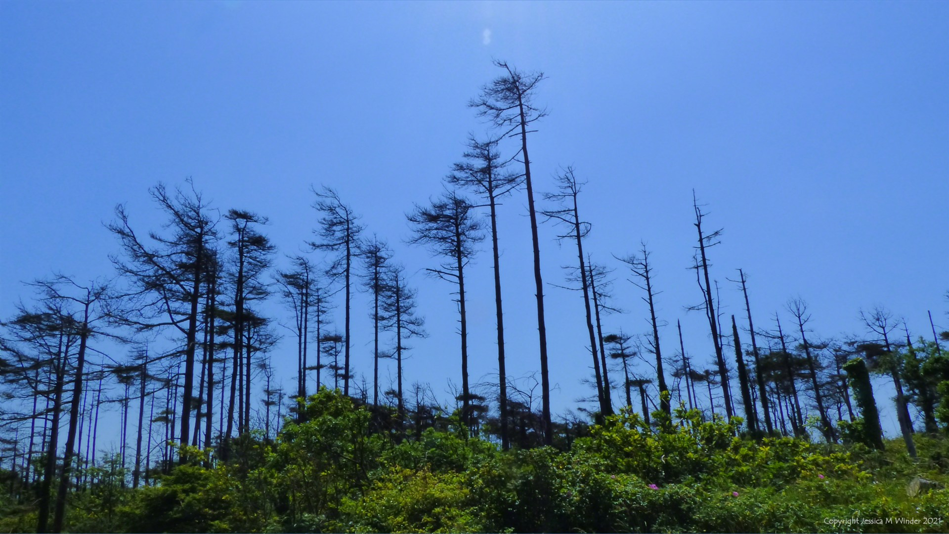 Dead or dying pine trees against a blue sky