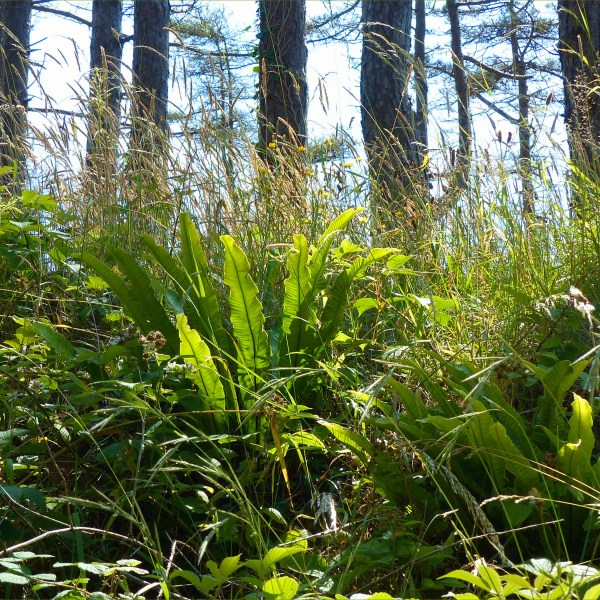 Ferns on forest floor below pine trees