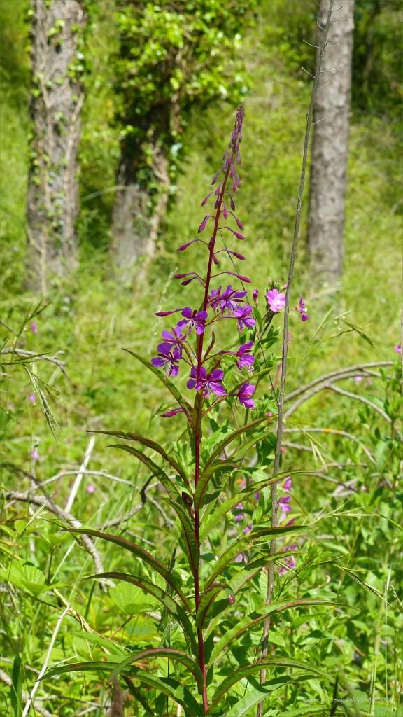 Rosebay Willowherb flowers on a forest floor