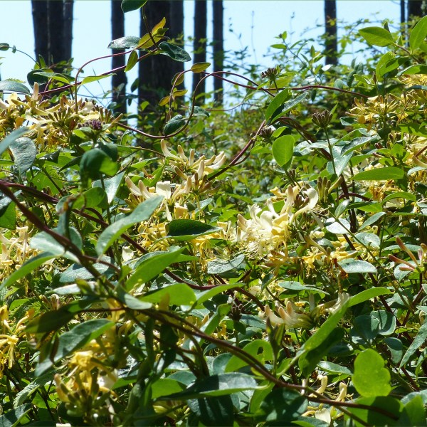 Honey suckle flowers growing in a dune forest
