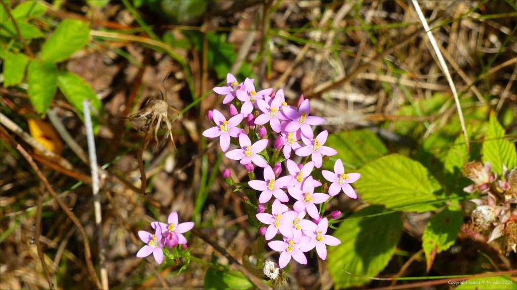 Pink flowers of Common Centaury