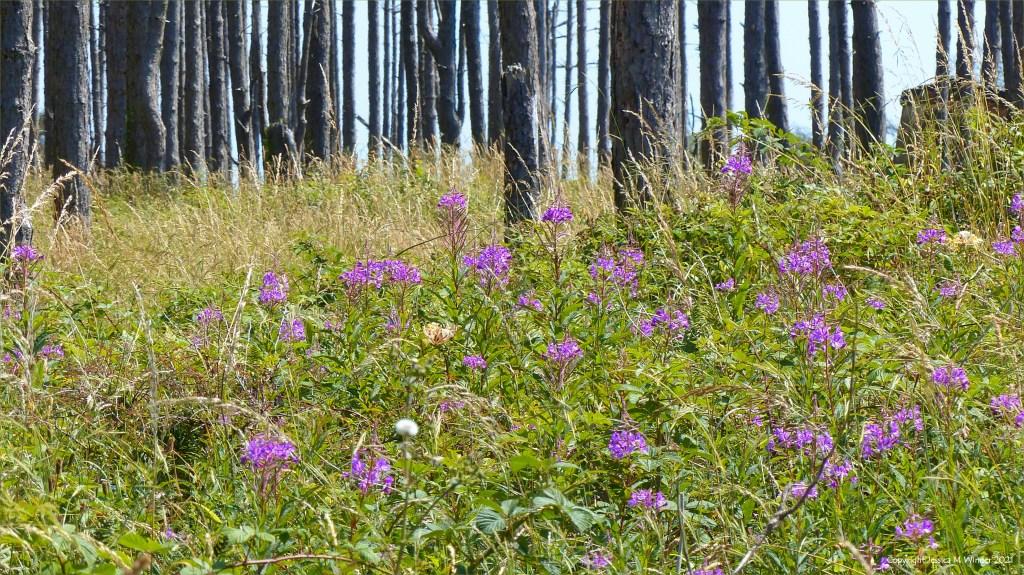 Rosebay Willowherb flowers beneath pine trees