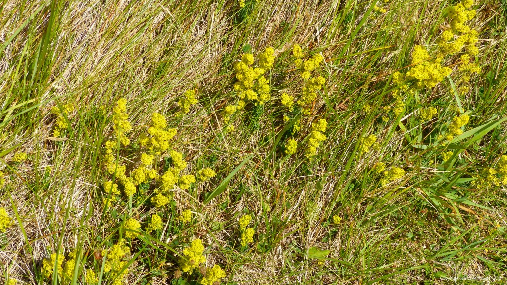 Yellow Lady's Bedstraw flowers in the grass by a dune forest