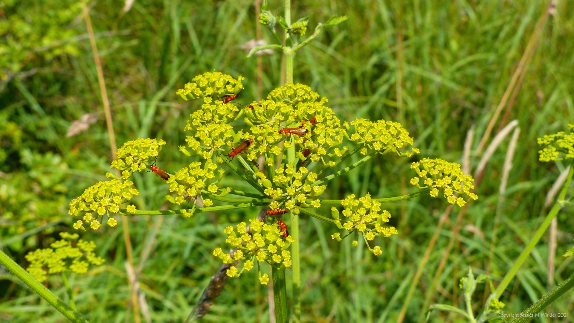 Yellow flowers of Wild Parsnip with Red Cardinal Beetles