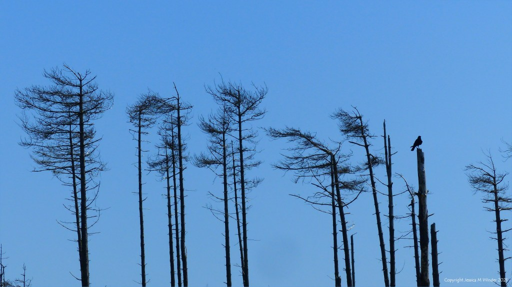 Dead or dying pine trees against a blue sky with bird