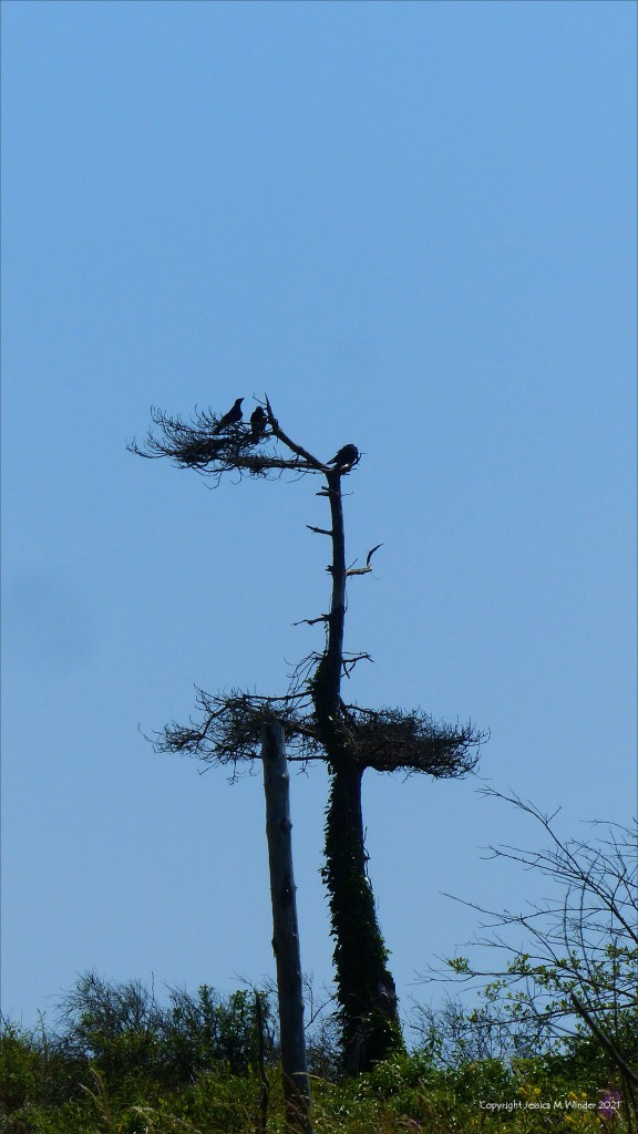 Dead or dying pine trees against a blue sky with birds