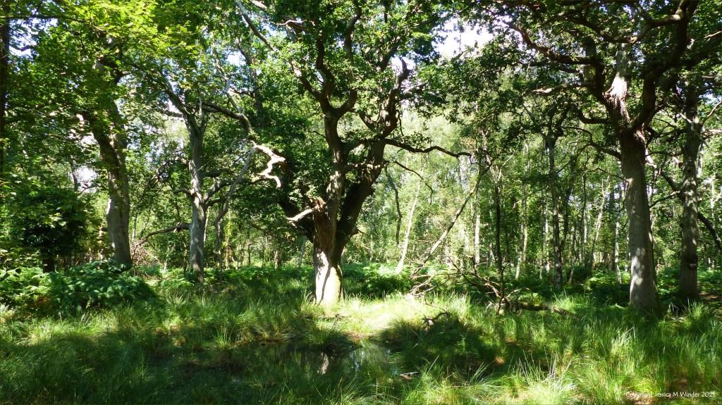 Ancient oak trees in a lowland dry oak and birch woodland habitat