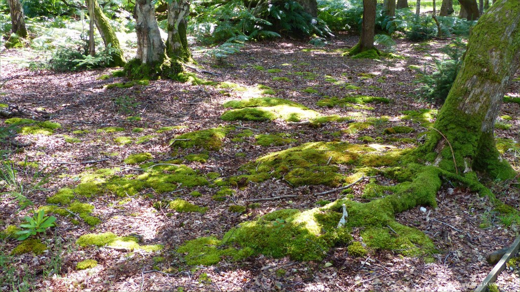 Moss-covered tree roots on a woodland floor